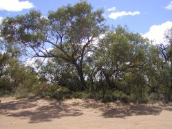 coolibah-trees-warracoota-waterhole-diamantina-np