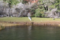 130307 Sea Eagle on the Arthur River Med