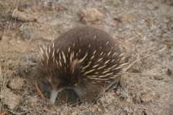 130318 Echidna at Mt Field NP Med