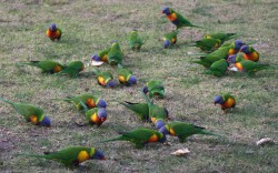 20150714 Lorikeets at Merimbula Med