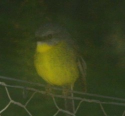 20150720 Yellow Robin at Greenfields Med