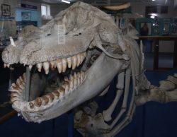 20161028-old-tom-killer-whale-at-eden-med