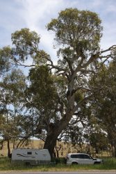 20161108-giant-red-gum-at-mia-mia-camp-med
