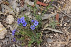 20161118-blue-flowers-at-nurragi-med