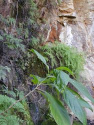 ferns-in-cania-gorge-np