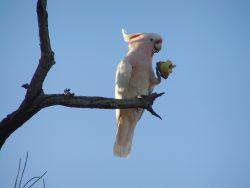 major-mitchell-cockatoos