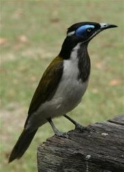 Honey Eater at Woody Head #1 (Small)