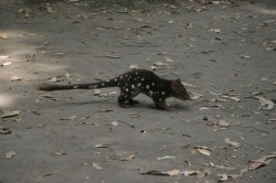 130307 Western Quoll Med