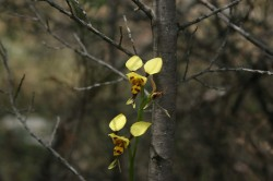 Tiger Orchid at Woolshed Falls Med