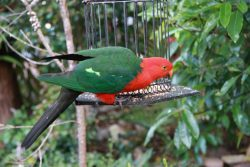 20161031-king-parrot-at-wonboyn-med