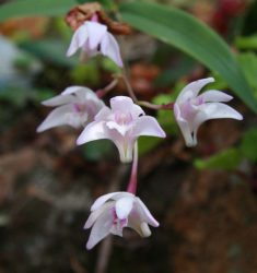20161031-native-orchid-at-the-elliss-1-med