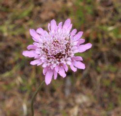 20161118-pink-daisy-at-nurragi-med