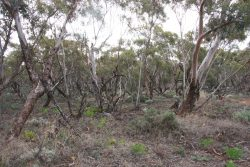 20170709-3967 NSW Mallee Scrub Med
