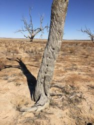 20170725-0578 Tree Fence Post Sturt NP Med